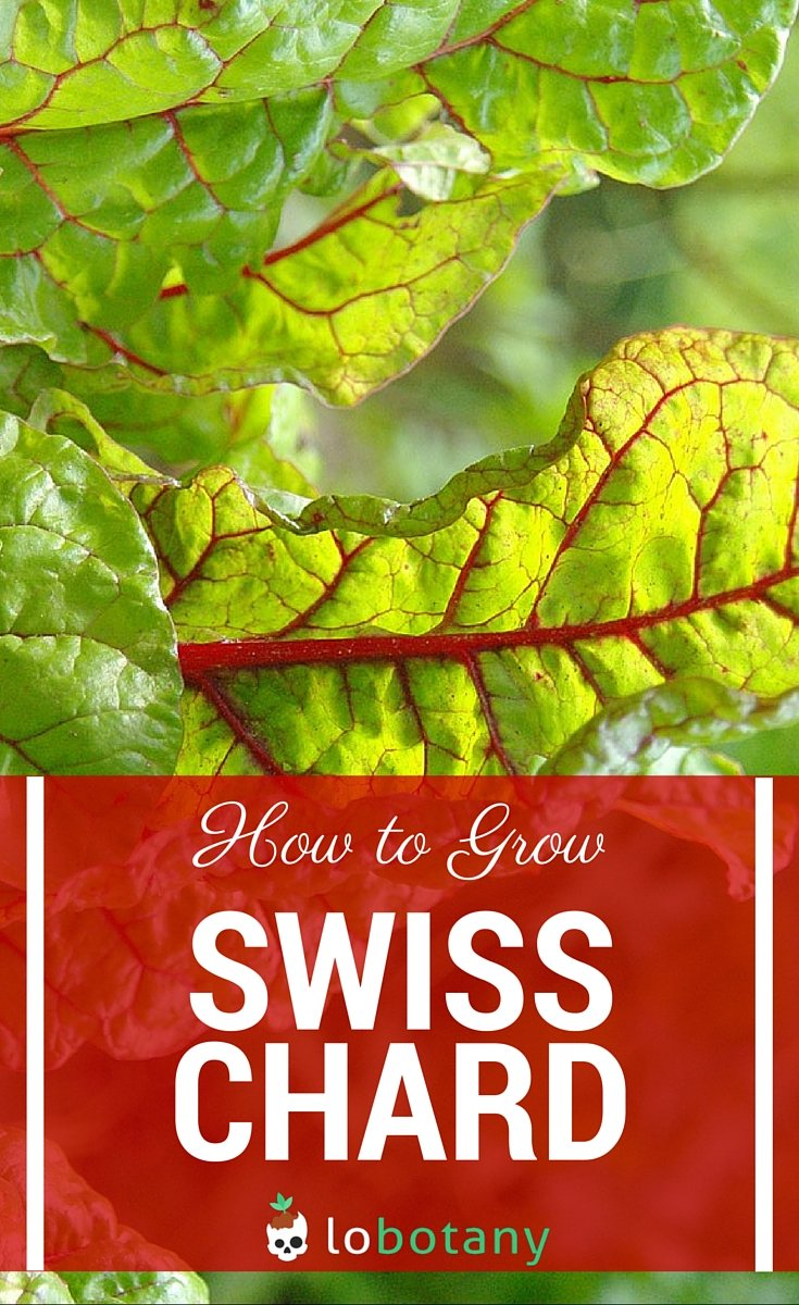 swiss chard seed planting instructions
