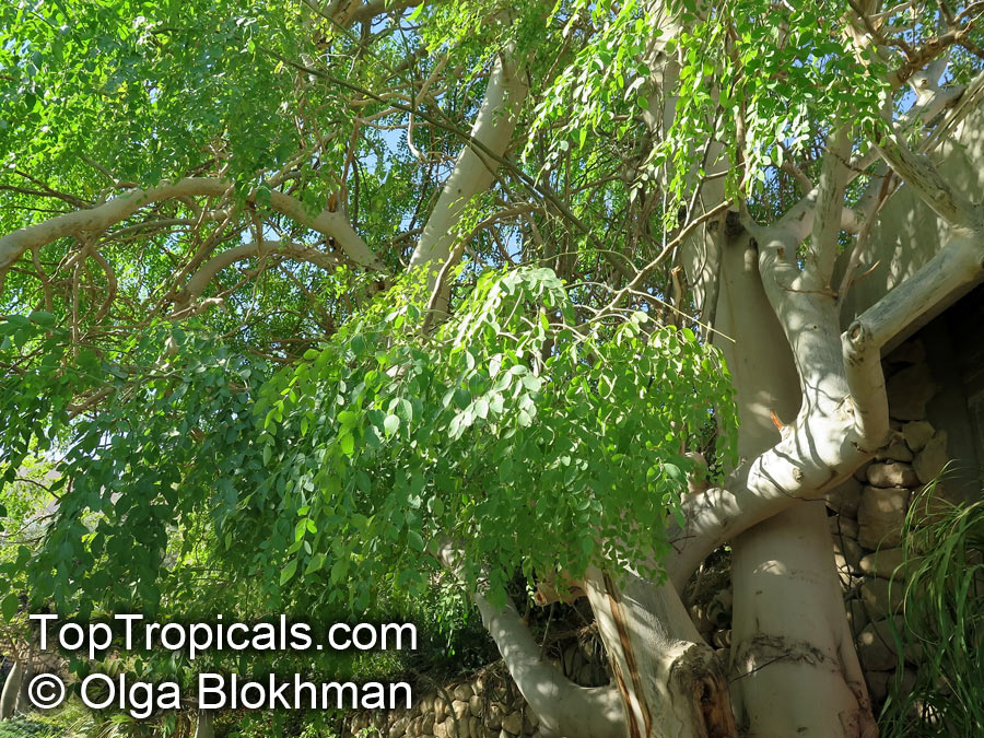 moringa tree planting instructions