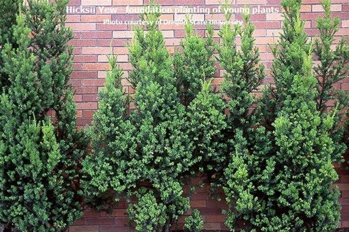 hicks yew planting instructions