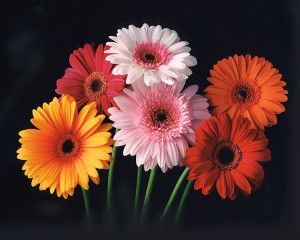 salmon gerbera care instructions