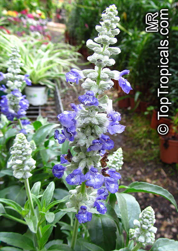 pineapple sage planting instructions
