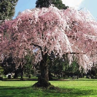 cherry blossom tree planting instructions
