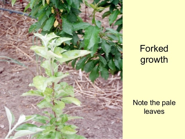 instructions for applying sulphur spray to fruit trees